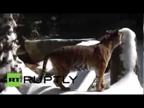 Tigers, Bears Play In Snow In Los Angeles Zoo video