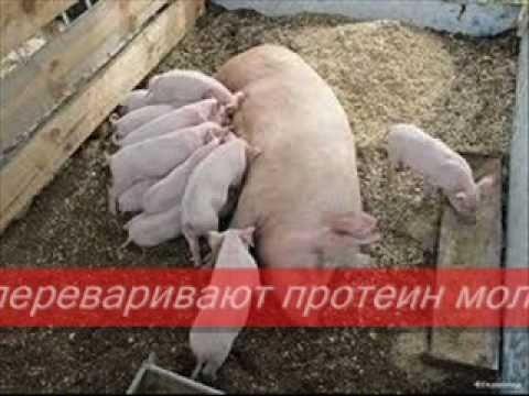 K&K СВИНОВОДСТВО 4/20 Поросята Свиньи Свиноматки Хряки