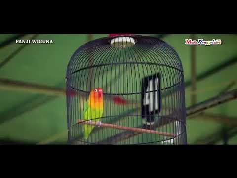 BURUNG LOVEBIRD BETET JUARA NASIONAL JADI MOBIL MERCY