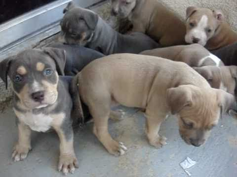 TRI COLOR PITBULL PUPPIES @ 5 WEEKS OLD www.nationalpitbullleague.com