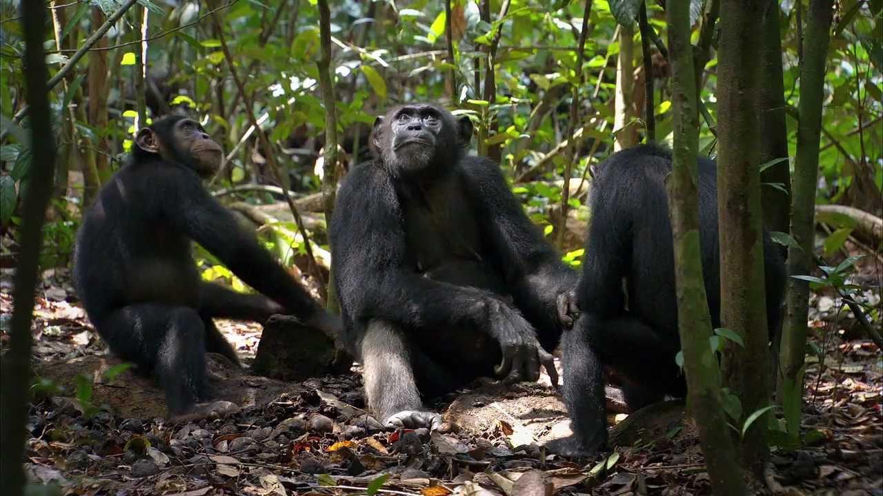 "New Disneynature Film ""Chimpanzee"" Benefits Chimpanzees in the Wild ... Chimpanzee Jane"