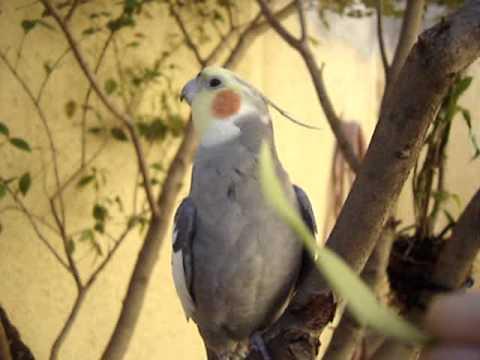 Calopsita   Pioio Cantando Hino Do São Paulo video