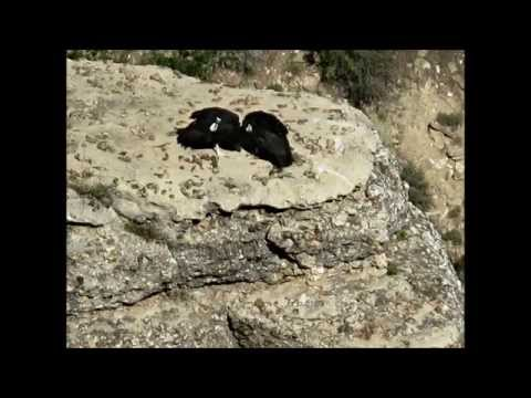California Condor - Grand Canyon National Park - May 30, 2013