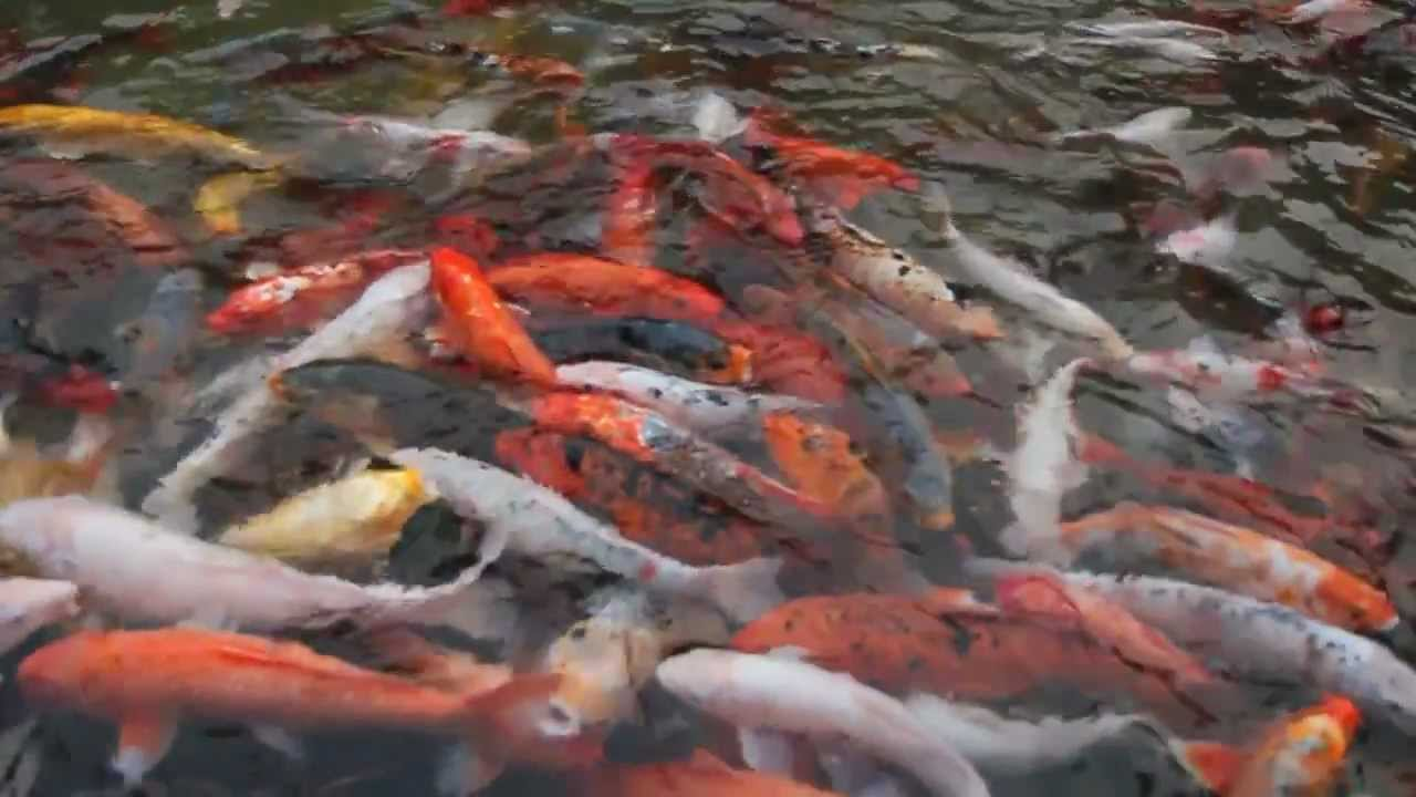 Koi pond relaxation video hd youtube for Koi fish pond hd