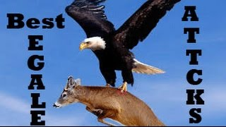 Download gold eagle coins | eagle attack goat pictures of eagles 3Gp Mp4