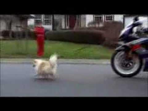 Hond uitlaten met je GSX-R 1000 (Suzuki)