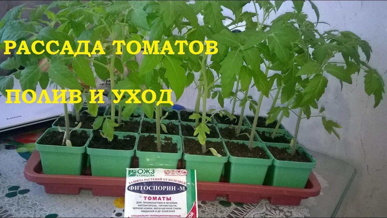 Чем поливать рассаду помидоров 780