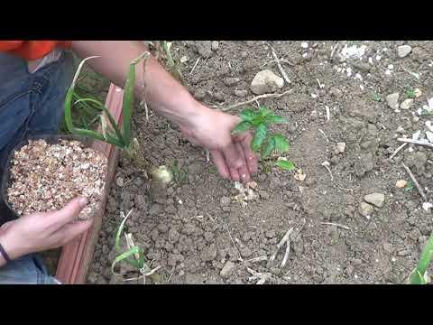 Como Aportar Calcio A Las Plantas Con Cascaras De Huevo || Remedios Organicos || La Huertina De Toni