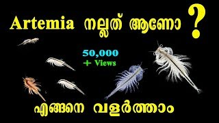 Artemia ആണോ Moina ആണോ നല്ലത്  ??? | How to grow Artemia Easily | Aquarium Fish Feed
