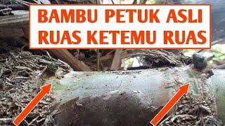 HEBOH Bambu petuk asli dari pohon nya langsung