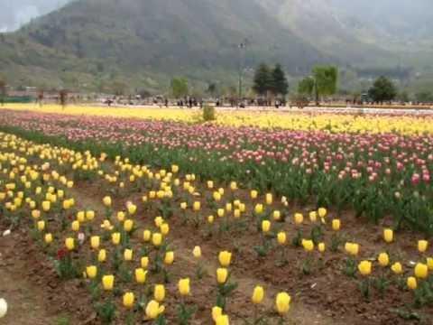 Tulip Garden, Srinagar, J&K, 10-04-13