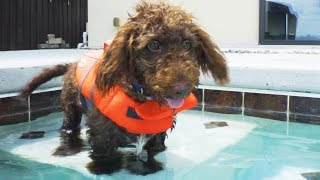 TEACHING A PUPPY TO SWIM - Super Cooper Sunday #156