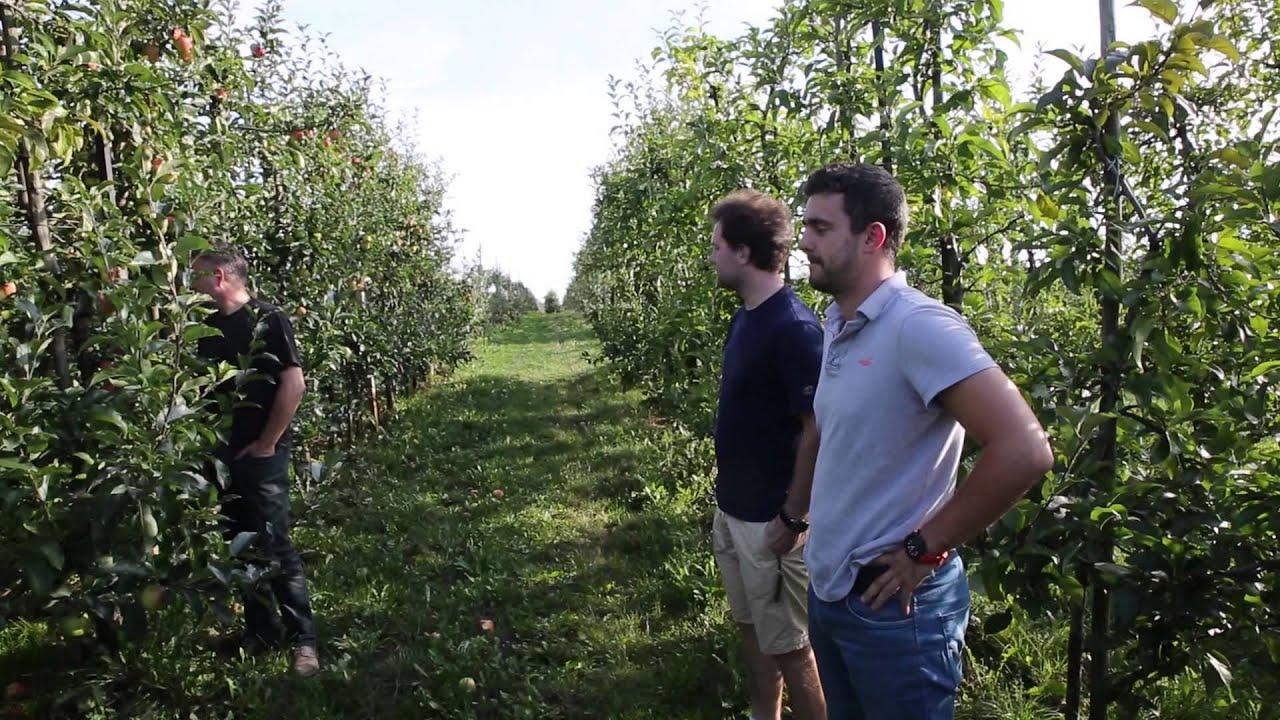 forum sadownicze, uprawa jabłek, jabłka odmiana celesta, Termin zbioru, Jakość owoców, opadanie owoców