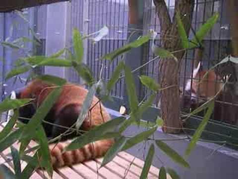 お嫁さんが気になる?レッサーパンダのセイタ in 札幌