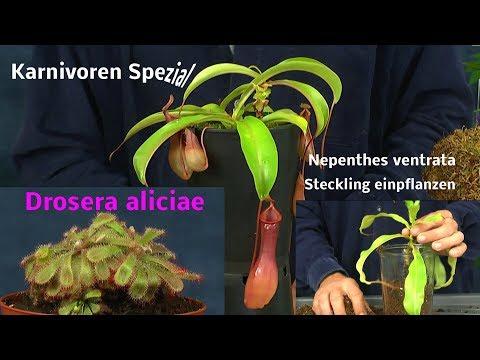 Kannenpflanze Steckling und Sonnentau einpflanzen