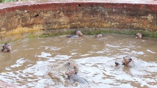 How Group Of Teenager Monkey Swimming And Playing In The Water ? How Nice Is The Location ? PTM 1279