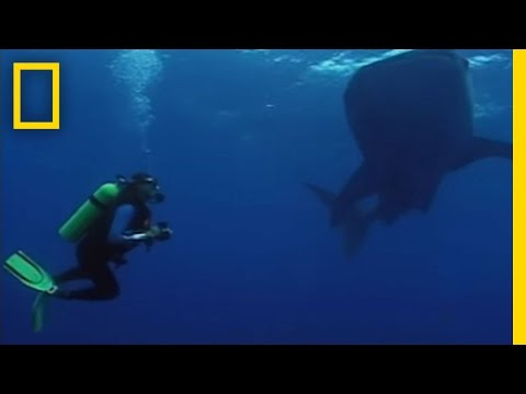 Whale Sharks' Unusual Feast Video