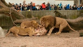 Unbelievable! How to Feed Big Cats with Live Animals in Zoo - SHOCKING Moments