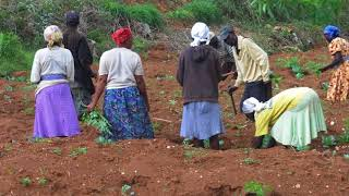Gladice St Jean Lundy vole au secours des cultivatrices et cultivateurs !