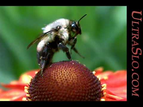 Best bee in UltraSlo slow motion macro