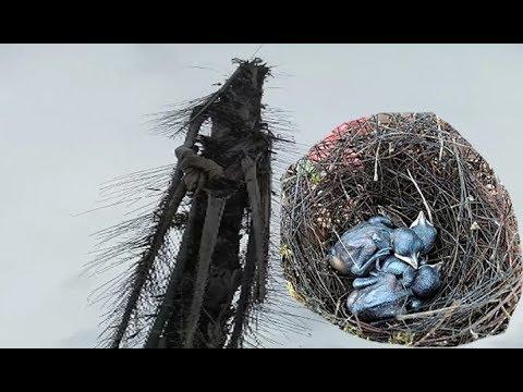 Panjat Pohon Tinggi Untuk Mengambil Sarang Burung Kacer Di Alam Liar