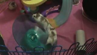 Chocolate on the flying saucer Robo Dwarf hamsters on the playground Funny hamsters video