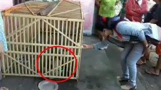 Babi ngepet tertangkap warga, aneh,!! begini bentuknya!!!