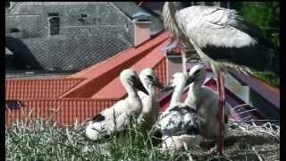 Storklet feeding - www.kukaj.sk - Part.L
