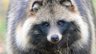 Как поет енот? Raccoon dog. Voice.