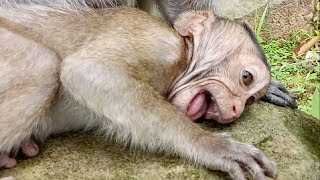 Baby Monkey Became A King Of Crying Let See ST681Mono Monkey