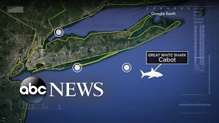 Fascination grows around great white shark tracked lurking in New York waters
