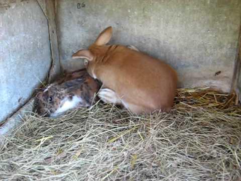Saillie de lapins