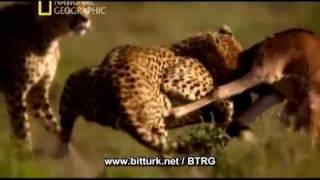 National Geographic The Great Migration (1 series) voice Tarkan