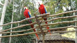 Parrots at the Mayan ruins of Copan (Honduras)