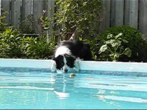 Border Collie vs. Pool