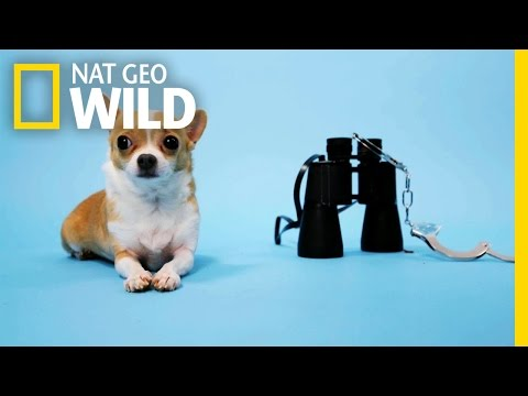 The Unique Adaptations of Chihuahuas | BarkFest