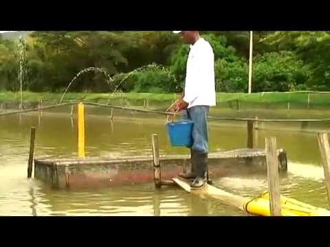 Culture Of Red Tilapia In Colombia
