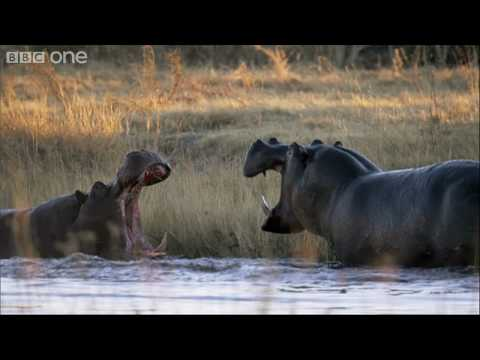 HD: Hippo Fight - Nature's Great Events: The Great Flood - BBC One