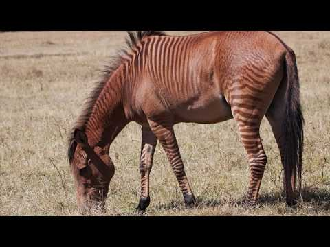 Rasy koni #44- Zebroid