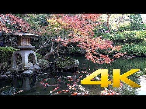 Koi Fish - 鯉 - 4K Ultra HD