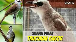 Mp3 Suara Pikat Burung Trucukan Paling Mantab
