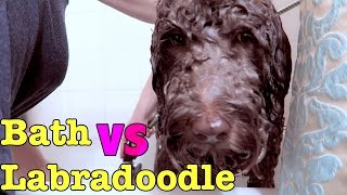 Day in the Life: Bath vs Labradoodle