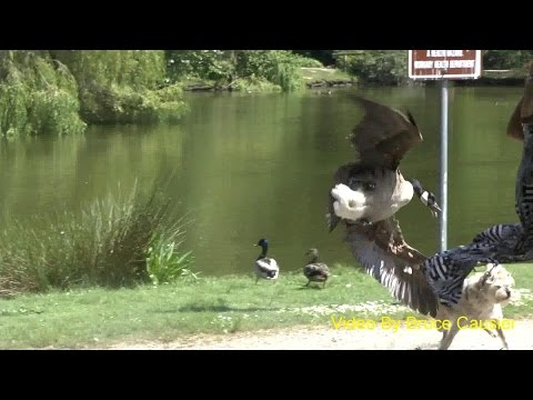Mother Goose Attacks Dog Walkers!
