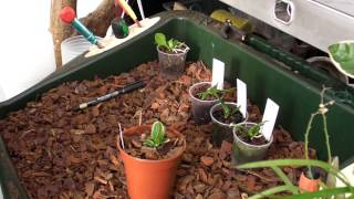 Re-potting Cattleya jenmanii seedlings from 2013