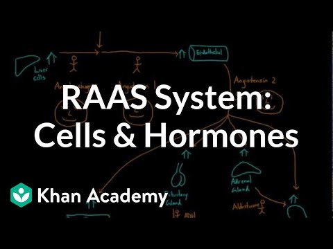 General overview of the RAAS system - Cells and hormones