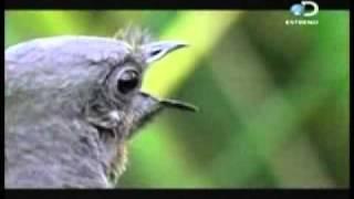 Imitaciones ave lira