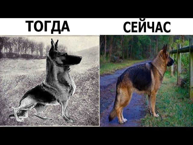 10 ПОРОД СОБАК - 100 ЛЕТ НАЗАД И СЕЙЧАС