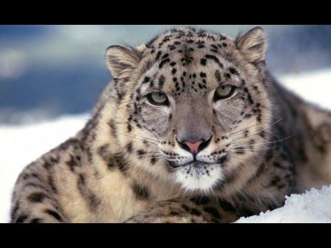 Dünyanın En Büyük 10 Kedi Türü ve Ağırlıkları