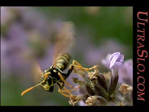 The first UltraSlo Wasp slow motion @2,000 FPS