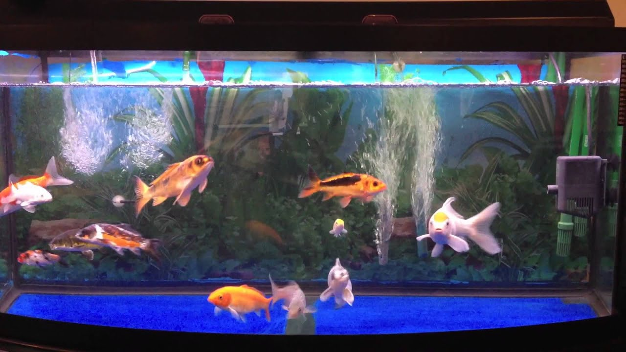 Koi tank 72 gallon youtube for Pet koi fish tank